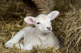 lamb-good