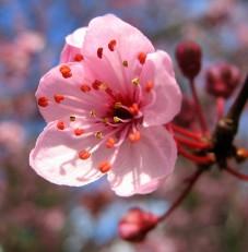 cherry-blossom-closeup-web